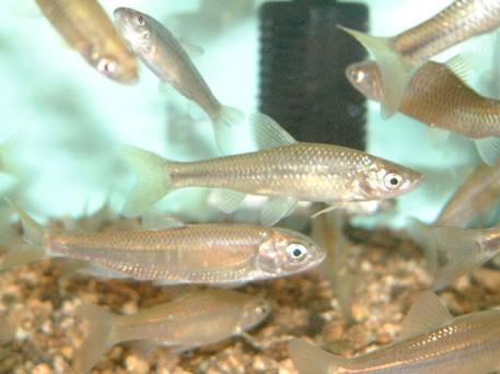 さくら湖周辺の魚:モツゴ - 三...